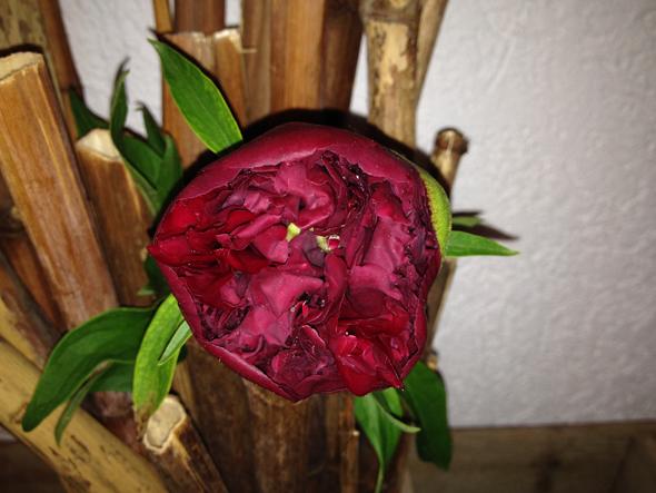 Pfingstrose Blüte Nahaufnahme