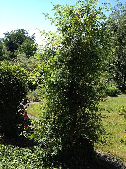 Wildrose-Schnitt